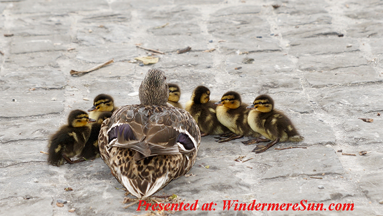 ducklings and their mother, animal-bird-cute-159864 final