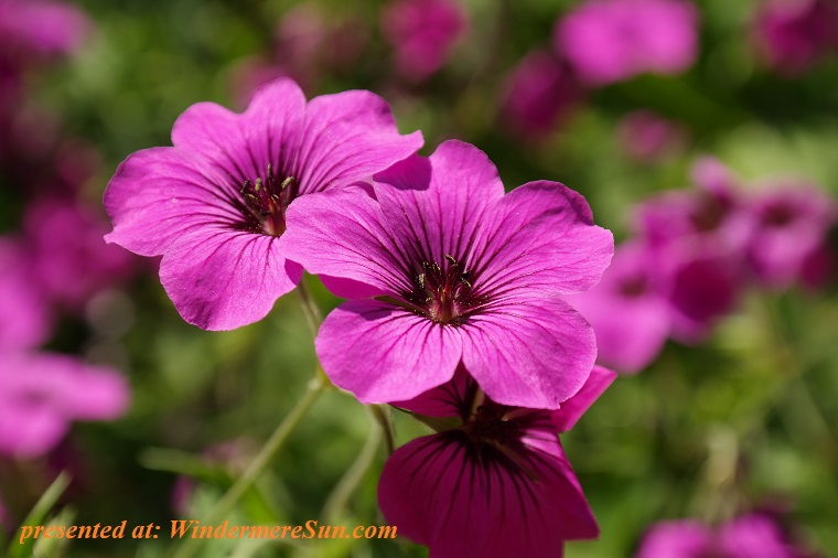 geraniums, bloom-blossom-flora-68646 final