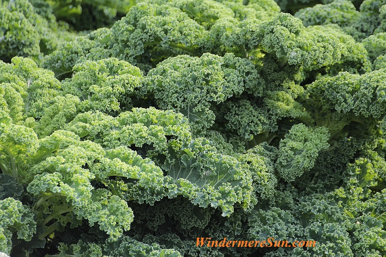 kale-vegetables-brassica-oleracea-var-sabellica-l-51372 final