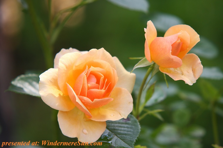 orange yellow rose, bloom-blossom-flora-39517 final