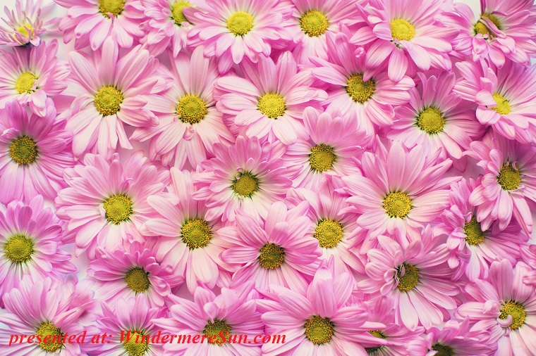 pink daisies, background-beautiful-blooming-355748 final