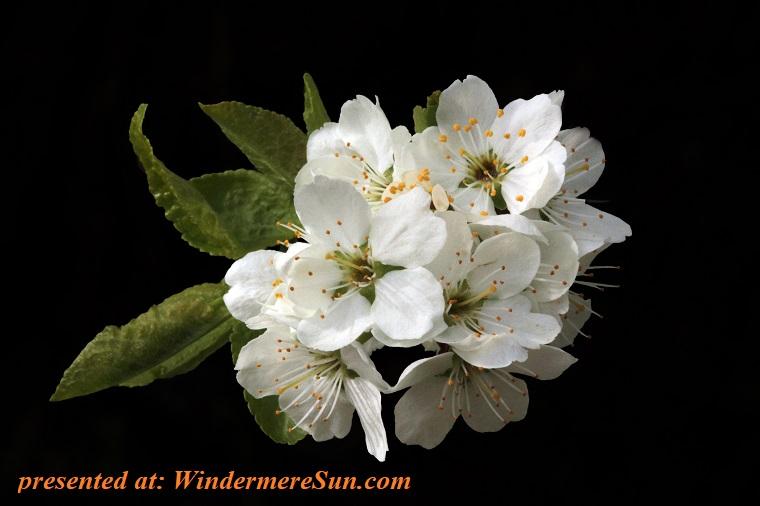 white flowers, beautiful-bloom-blooming-133507 final