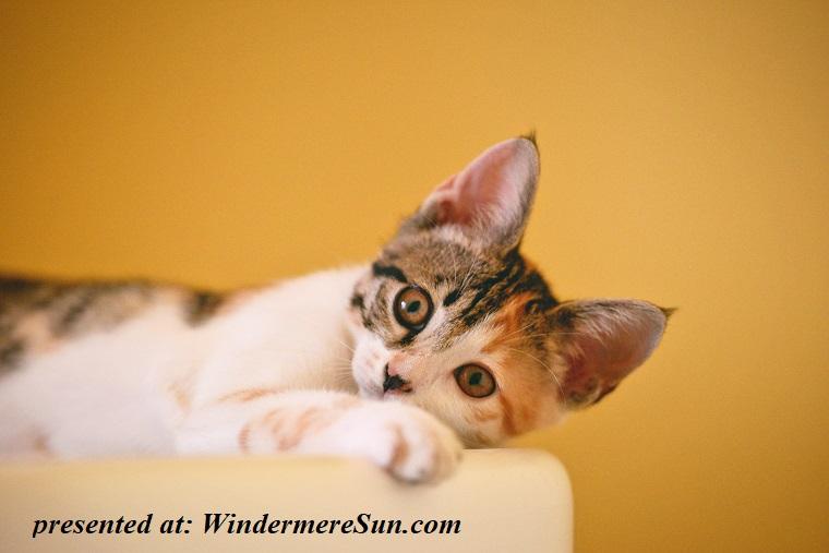 pet of 03-02-2019, cat, adorable-animal-cat-1404819 final