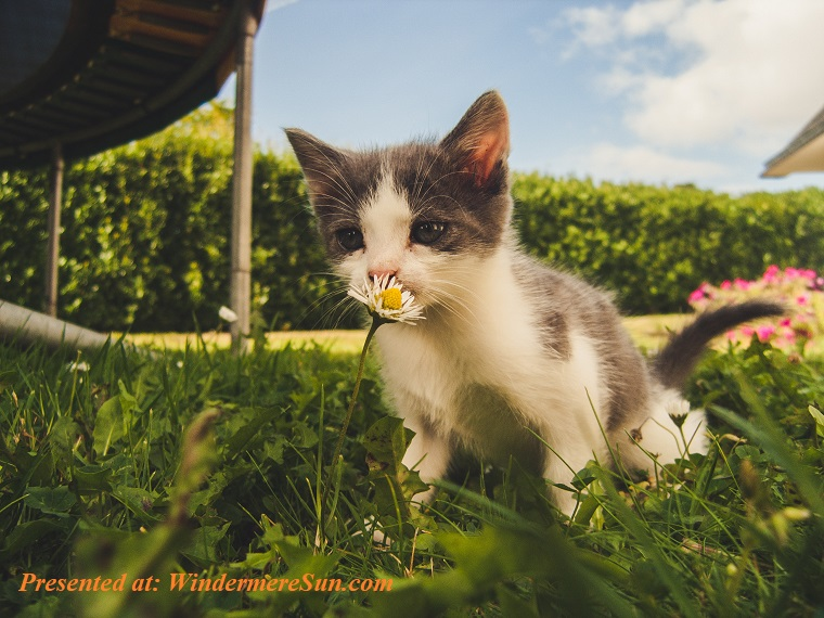 Pet of 6-8-2019, cat appreciates dandelion, adorable-animal-baby-1472999 final