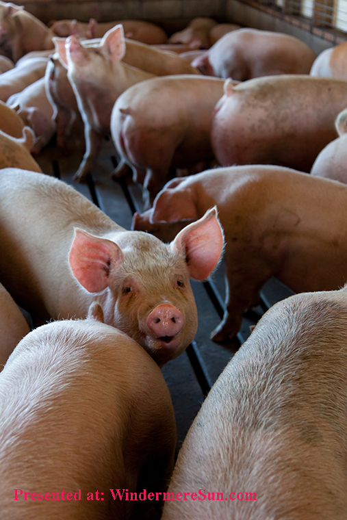 swine, agriculture-animal-photography-animals-2252541 final
