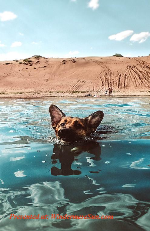pet of 9-28-2019, dog swimming, adorable-animal-animal-photography-2776108 final