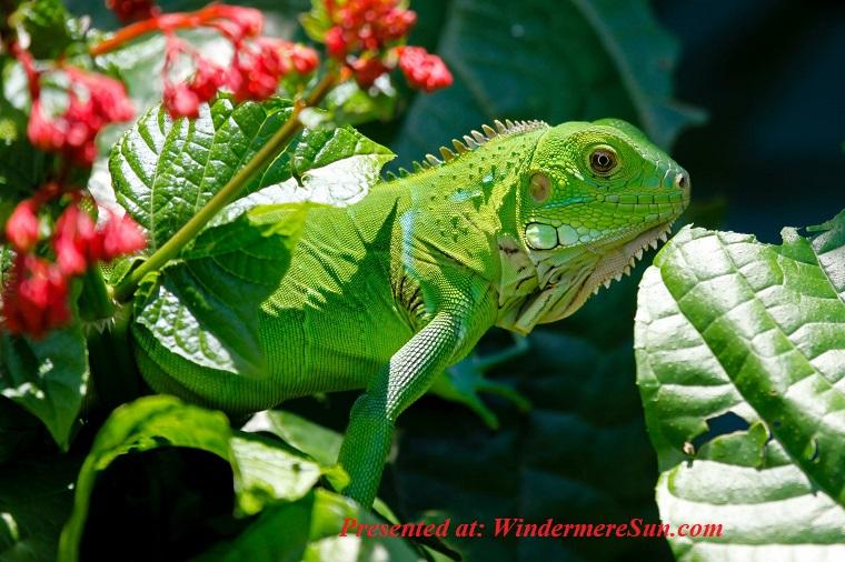 Iguana, iguana-reptile-animals-lizard-62618 (1) final
