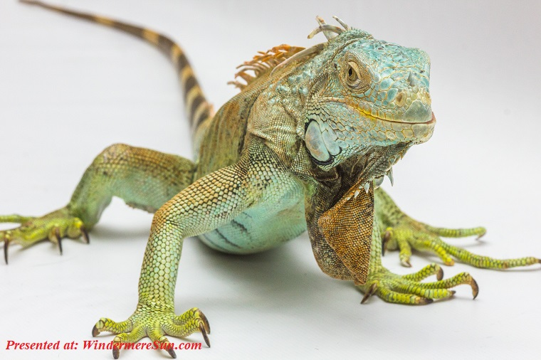 Iguana, reptile-iguana-white-background-33321 (1) final