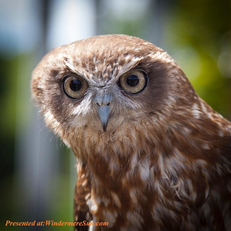 Owl, nature-bird-australia-owl-105809 (1) final