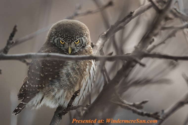 Owl, selective-focus-photography-of-owl-perched-on-twigs-1904354 (1) final