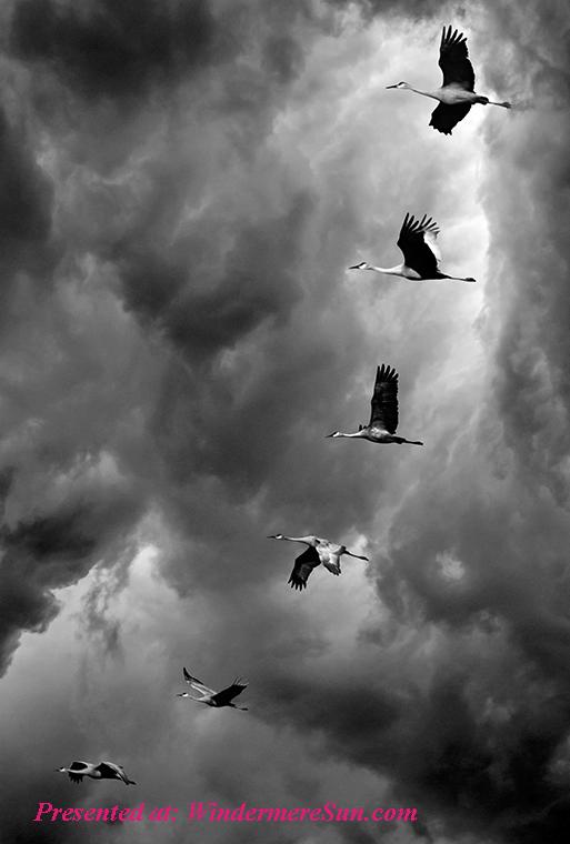 Pet of 2-1-2020,flocks-of-birds-flying-under-cloudy-sky-2405382 final