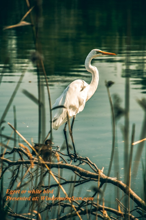 egret or white-bird-on-focus-photography-2152399 (1) final