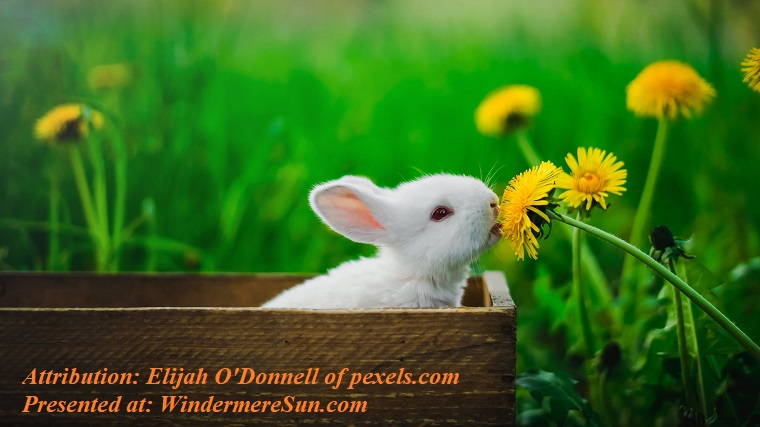 Pet of 3-28-2020. Bunny nibbling on dandelion, pexels-photo-3979650 final