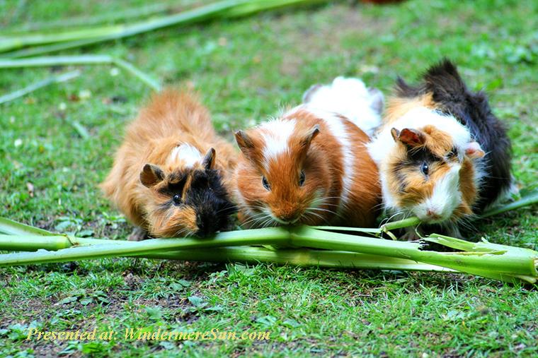 Pet of 4-25-2020, guinea-pig-sea-pig-house-cute-guinea-pig-house-63853 final