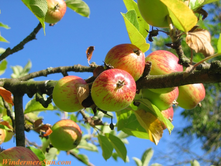 apples on vine, apple-tree-orchard-apfelernte-54629 final