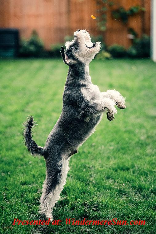 Pet of 5-30-2020, dog catch treat, pexels-photo-3590443 final