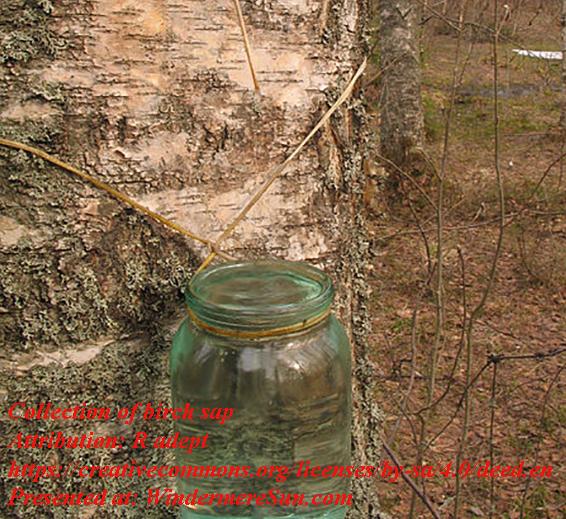 birch sap, attribution- R adept, CC.4.0 final short