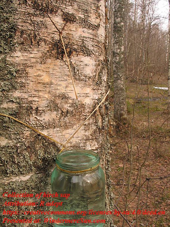 birch sap, attribution- R adept, CC.4.0. finalpsd