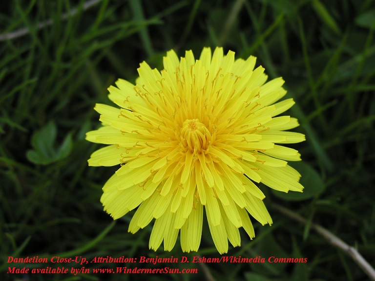 Dandelion_close-up Attribution Benjamin D. Esham  Wikimedia Commons final