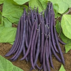 Farmfreshdirect2u-Purple bush beans final