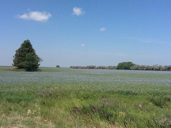 Flax_field in bloom in North Dakota CC author Bookworm857158367 final