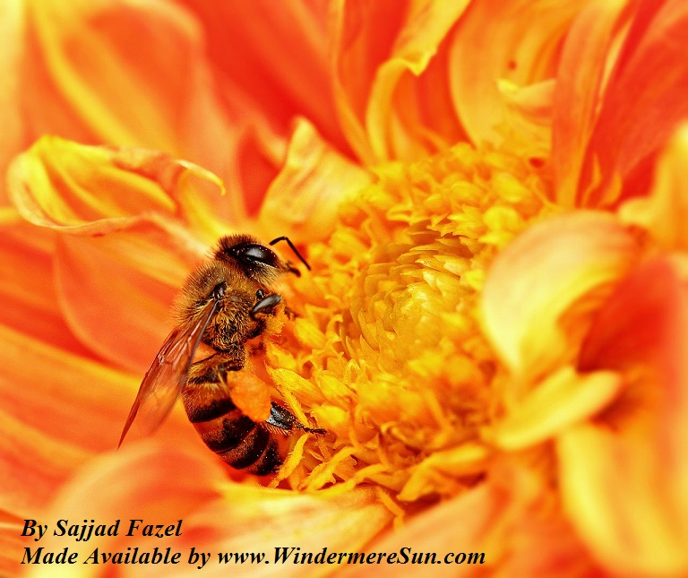 Honey Bee takes nectar from a flower as pollen grains stick to its body in Tanzania CC by Sajjad Fazel final