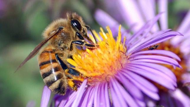 Honeybees pollinate more than just flowers, they're a vital part of our agricultural cycles. (Photo- FrauBucher  flickr)
