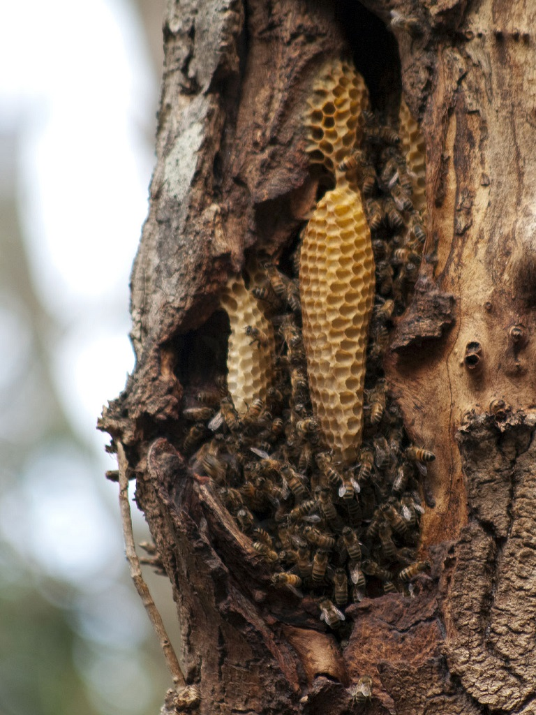Natural_Beehive  Bees in a natural hive, located at Coromandel Valley, South Australia CC Author Bilby final