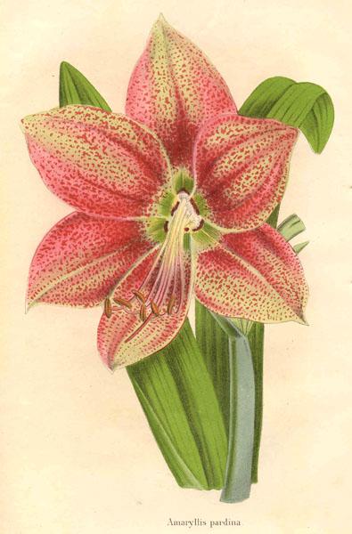 Amaryllis-Hippeastrum_pardinum1