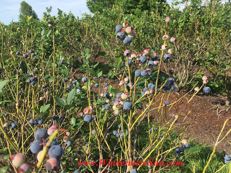 UPickBlueberries-blueberries 1 bunches final
