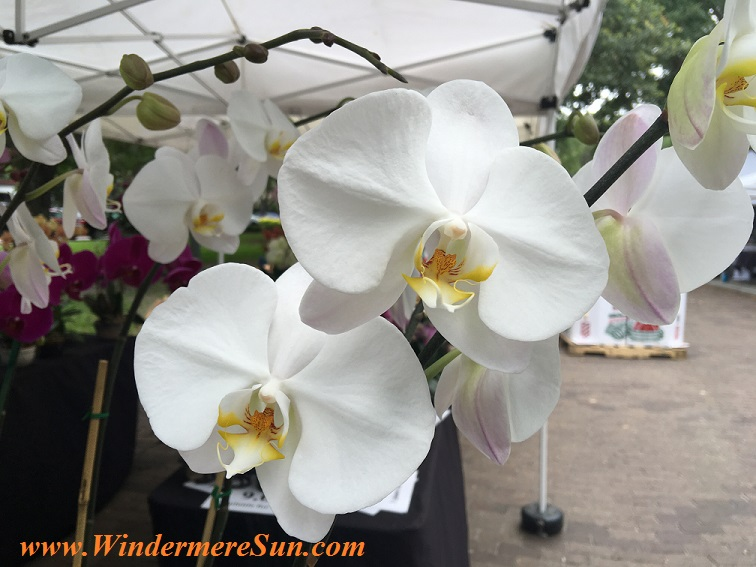 orchid-windermere-farmers-market-orchids-final