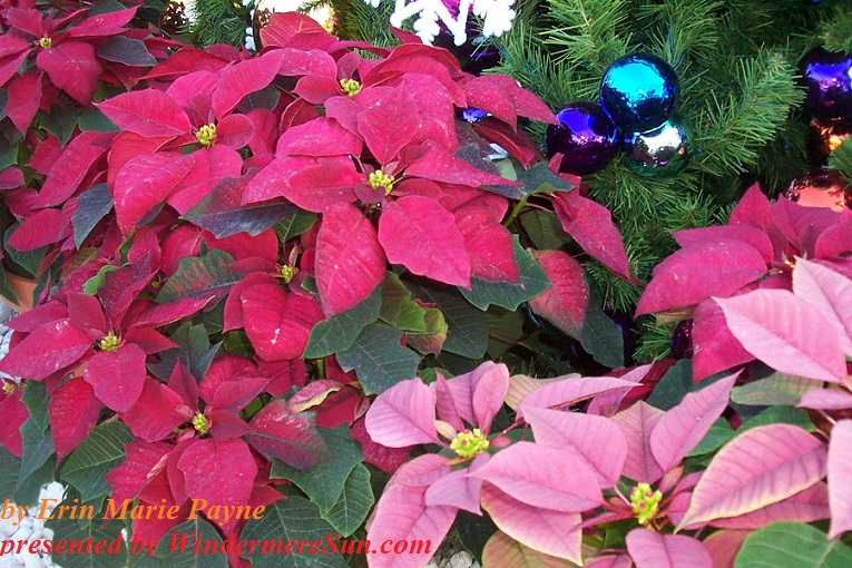 christmas-decor-2-1384166-freeimages-by-erin-marie-payne-poinsetta-final