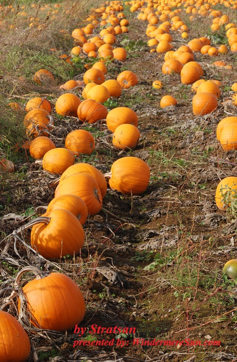 pumpkin-patch-2-1318121-freeimages-by-stratsan-final