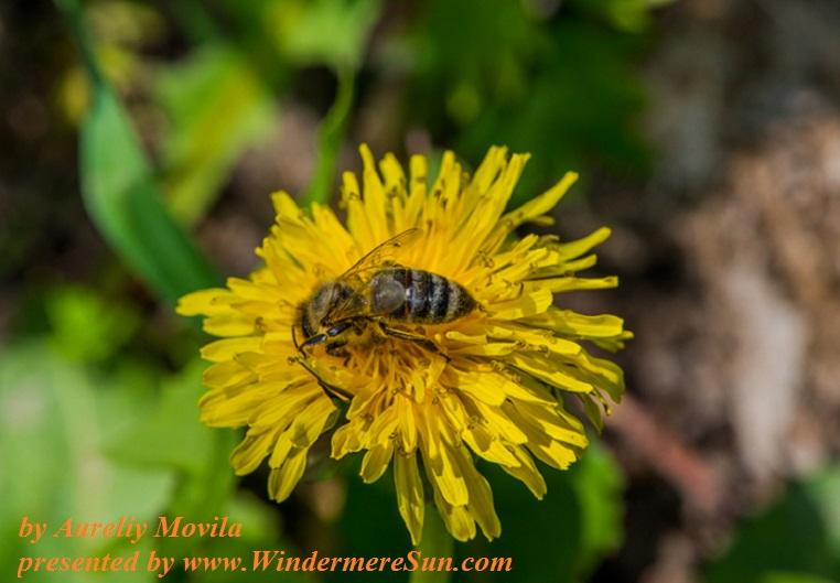 honey-bee-1330697, freeimages, by Aureliy Movila final
