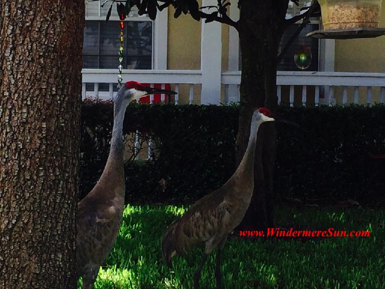 Cranes-2 of them1
