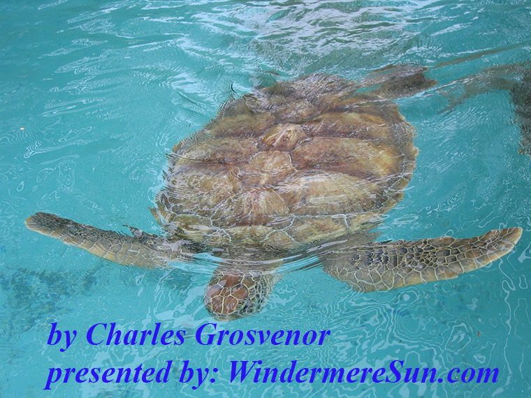 loggerhead-sea-turtle-1529102, freeimages, by Charles Grosvenor final