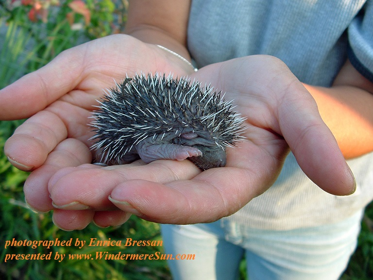 little-cute-hedgehog-1371545, freeimages, by Enrica Bressan, 4-8-2017 final
