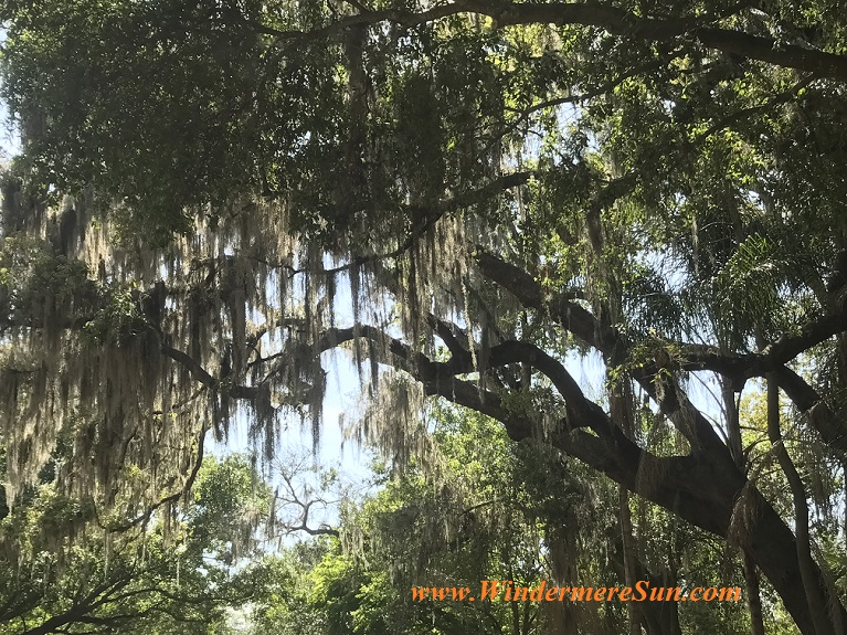 FL tree with Spanish moss final