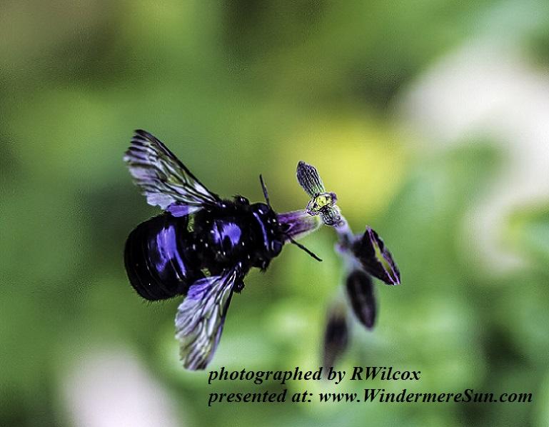 carpenter-bee-1616346, by RWilcox final