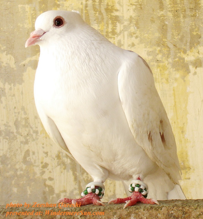 pigeon-1402291, freeimages, by Zeeshan Qureshi final