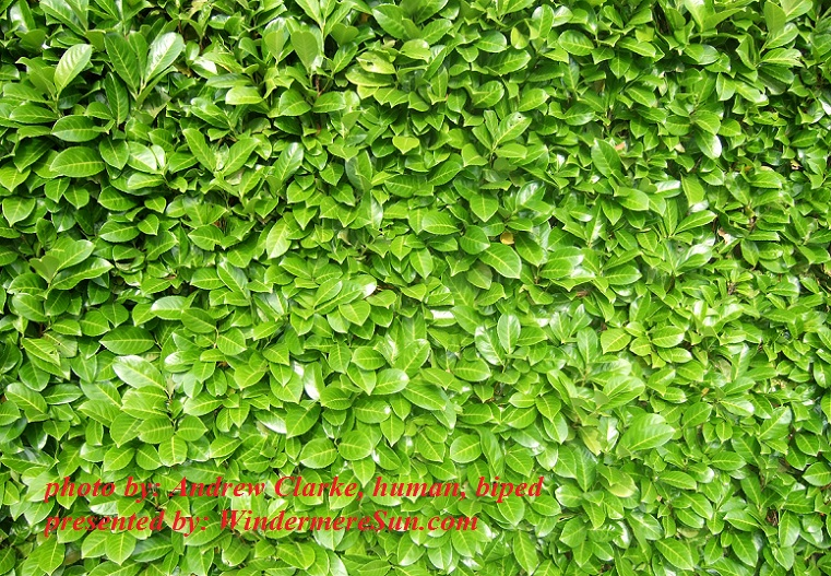 texture-laurel-hedge-1172433, by Andrew Clarke, human, biped final