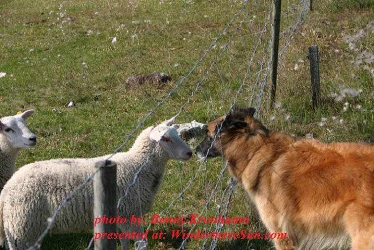 animals-cheep-and-dog-1558006, by benny kronhamn final
