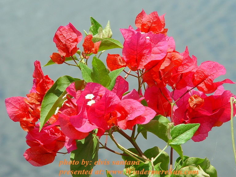flower-2-1391347, by elvis santana final