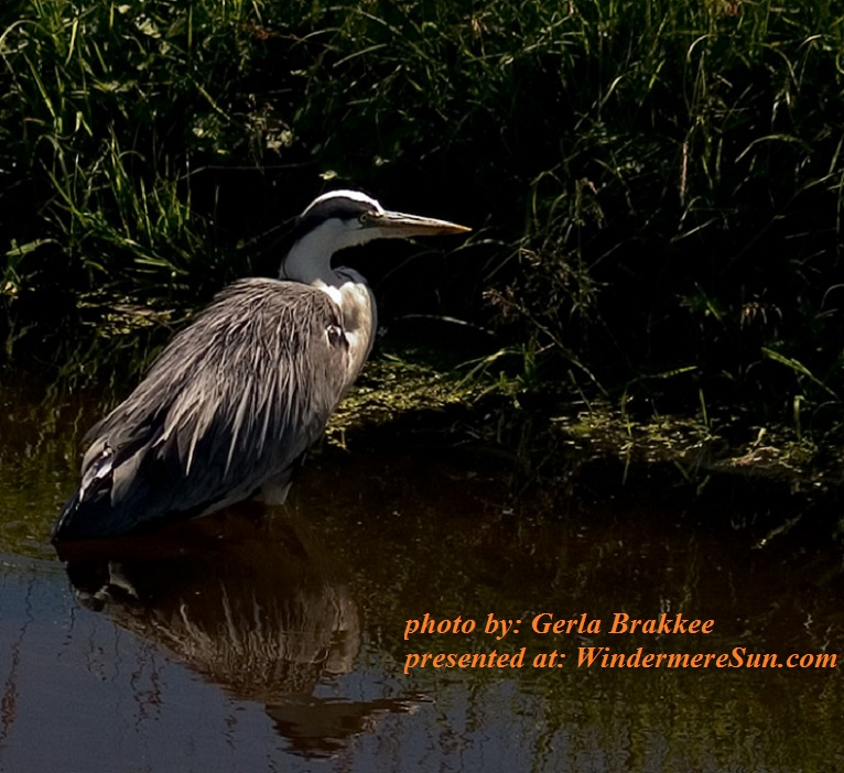 heron-1543492, by Gerla Brakkee final