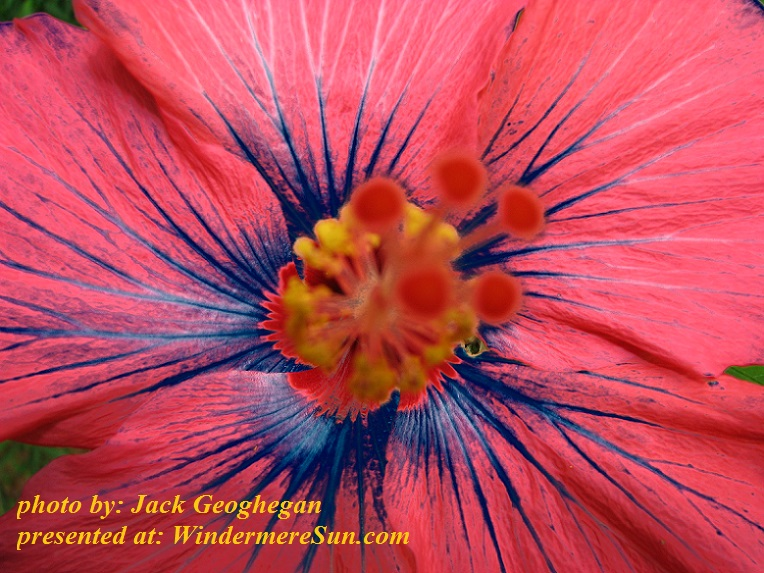 hibiscus-in-blue-1563503, freeimages, by Jack Geoghegan final