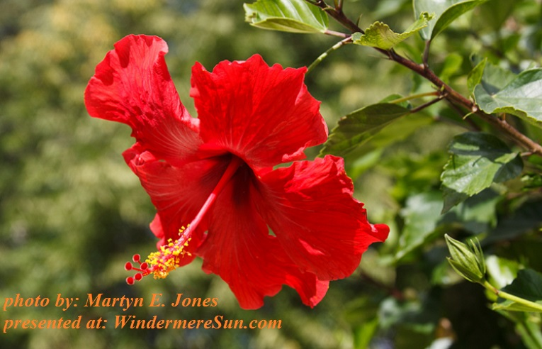 summer-hibiscus-1630674, freeimages, by Martyn E. Jones final