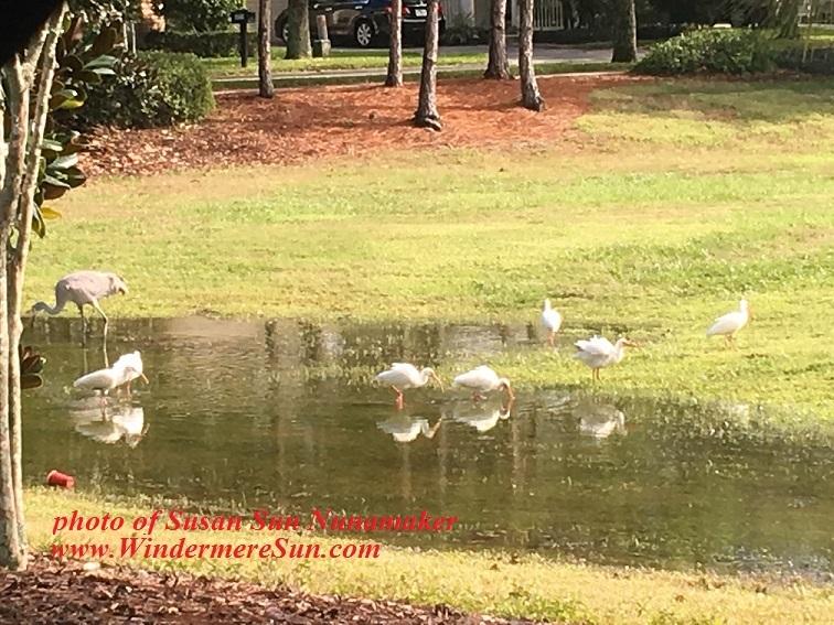 Crane and baby cranes1, pet of 7-22-2017 final