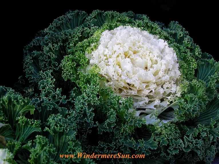 beautiful broccoli flower-pexels-photo-247592 final