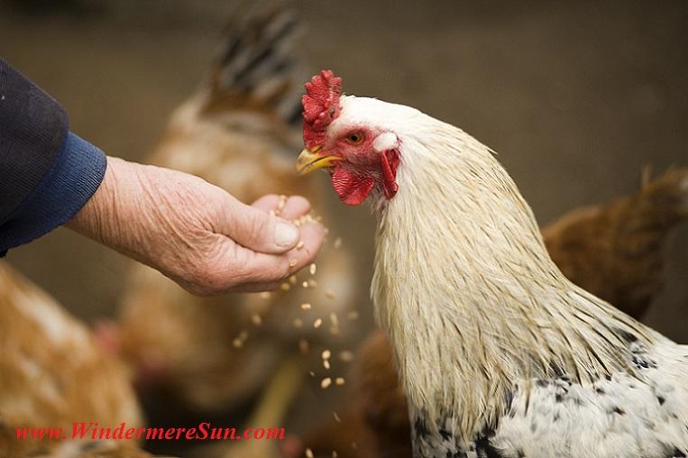 feeding hen-pexels-photo-375510 final