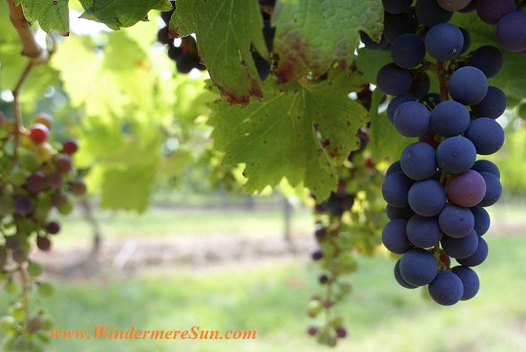 grapes-pexels-photo-197906 final